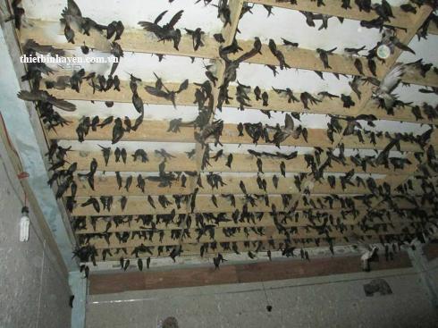 Kỹ thuật nuôi chim Yến tại nhà kiếm vài trăm triệu mỗi năm